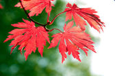 Red maple leaves in a forest — Stock Photo