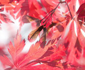 Seeds of red maple in sunbeams — Stock Photo