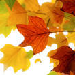 Autumn leaves of tulip tree — Stock Photo