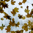 Autumn leaves on the wet window — Stock Photo