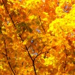 Autumn maple branches in the sunlight — Stock Photo #14397879