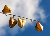 Herbst getrocknete früchte gegen himmel — Stockfoto