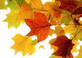 Autumn leaves of tulip tree — Stock Photo