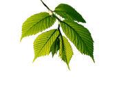 Oddział z świeżych liści na białym tle — Zdjęcie stockowe