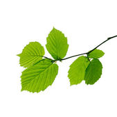 Branch with young spring leaves — Stock Photo