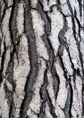 Bark of cedar tree in the forest — Stock Photo