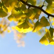 Ginkgo branch in sunlight — Stock Photo