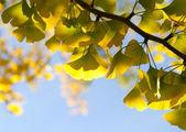 Ginkgo branch in sunlight — Stock Photo