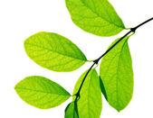 Dal beyaz zemin üzerine yeşil yaprakları — Stok fotoğraf