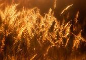 Prairie grass in the sunlight — Stock Photo