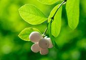 Symphorine blanche sur le fond vert dans une forêt — Photo