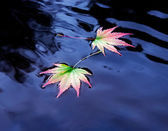 Two maple leaves on the water — Stock Photo