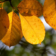 Stock Photo: Autumn leaves on a tree in the sunshine
