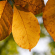 Stock Photo: Autumn leaves on a tree in the sunlight