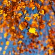 The autumn birch leaves in the sunlight — Stock Photo