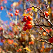 Hawthorn berries in the sunlight - Stock Photo