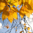 Autumn chestnut leaves against sky — Stock Photo