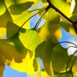 Ginkgo leaves in the forest — Stock Photo