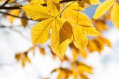 Autumn leaves of chestnut in sunlight — Stock Photo