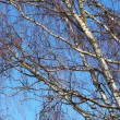 Stock Video: Birch tree branches against sky