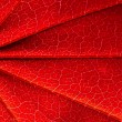 Surface of the red maple leaf — Stock Photo