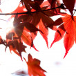 Stock Photo: Red maple leaves and sunbeam