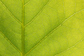Surface of the green leaf in sunlight — Stock Photo