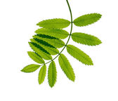 Young green branch on white background — Stock Photo