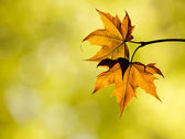 Autumn maple leaves in the forest — Stock Photo