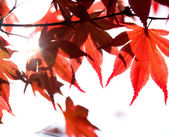 Red maple leaves and sunbeam — Stock Photo