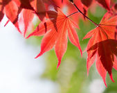 Red maple leaves in the forest — Stock Photo