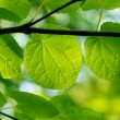 Fresh green leaves in a forest — Stock Photo