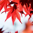 Leaves of red maple in forest — Stock Photo