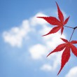 Red maple leaves against the sky — Stock Photo