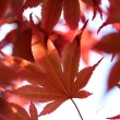 The red maple leaves in a forest — Stock Photo #27315043