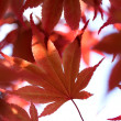 Stock Photo: The red maple leaves in a forest