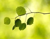 Ramo con foglie nella foresta — Foto Stock