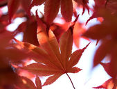 The red maple leaves in a forest — Stock Photo