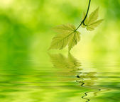 Young maple leaves in the forest over water — Stock Photo