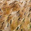 Ears of rye in  sunlight — Stock Photo