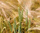 Ears of wheat in rye field — Stock Photo