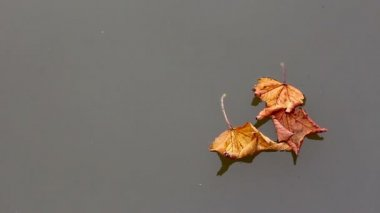 Autumn maple leaves on water — Stock Video