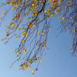 Birch tree branches against sky — Stock Video
