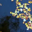 Autumn maple leaves on water — Stock Video #35416751