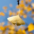 Ginkgo leaf in the sunlight — Stock Photo