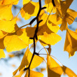 Ginkgo leaves in the sunlight — Stock Photo