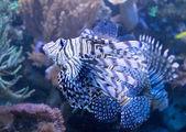 熱帯海でミノカサゴ — ストック写真