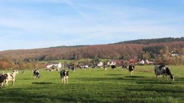 牧场上的牛 — 图库视频影像