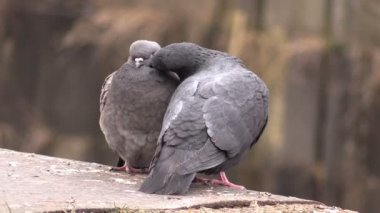 Two cooing pigeons — Stock Video