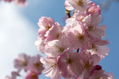 Spring cherry blossom in the sunlight — Stock Photo